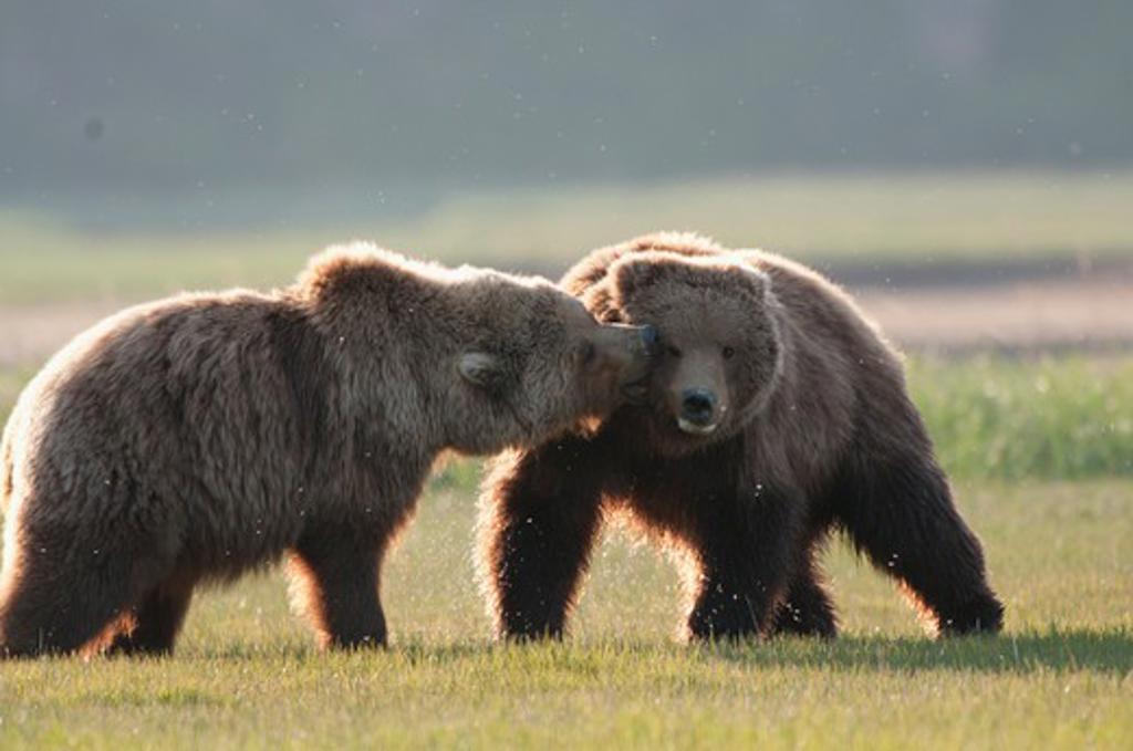 Kodiak brown bears (Ursus arctos middendorffi) fighting in a field, Swikshak, Katami Coast, Alaska, USA : Stock Photo
