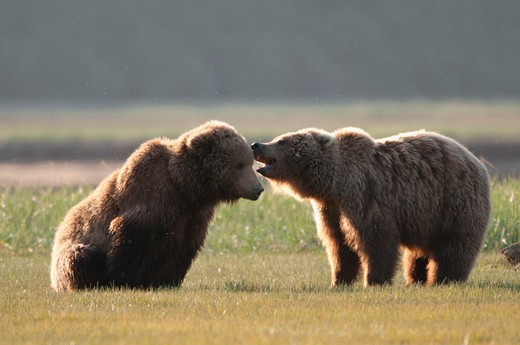 Stock Photo: 1257-479 Kodiak brown bears (Ursus arctos middendorffi) in a field, Swikshak, Katami Coast, Alaska, USA