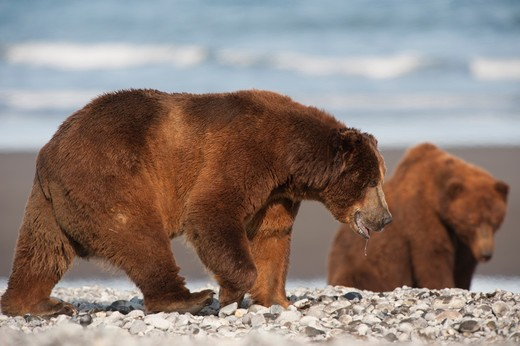 Kodiak brown bears (Ursus arctos middendorffi) at a coast, Swikshak, Katami Coast, Alaska, USA : Stock Photo