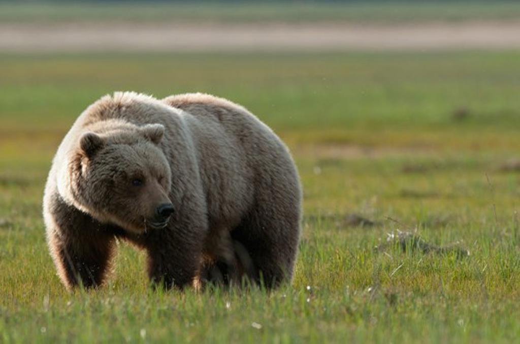 Kodiak brown bear (Ursus arctos middendorffi) foraging, Swikshak, Katami Coast, Alaska, USA : Stock Photo