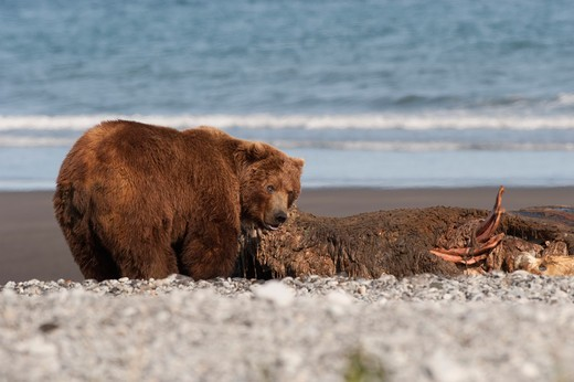 Kodiak brown bear (Ursus arctos middendorffi) feeding on a seal, Swikshak, Katami Coast, Alaska, USA : Stock Photo