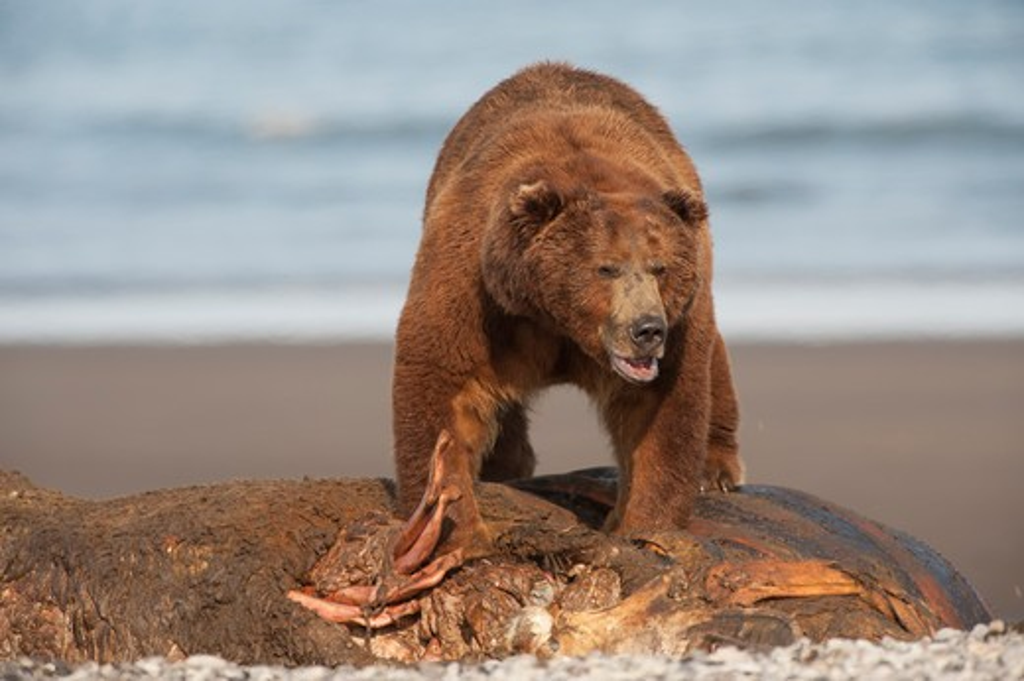 Stock Photo: 1257-515 Kodiak brown bear (Ursus arctos middendorffi) feeding on a seal, Swikshak, Katami Coast, Alaska, USA