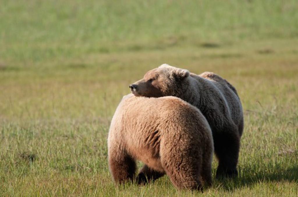 Stock Photo: 1257-523 Kodiak brown bears (Ursus arctos middendorffi) in a field, Swikshak, Katami Coast, Alaska, USA