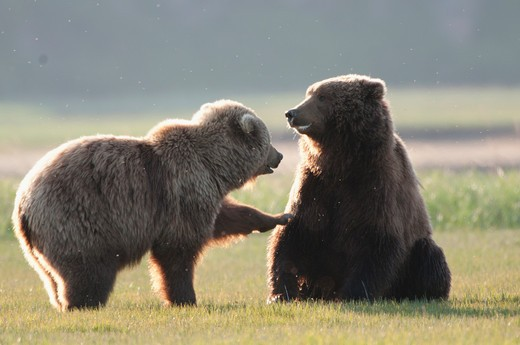 Stock Photo: 1257-525 Kodiak brown bears (Ursus arctos middendorffi) in a field, Swikshak, Katami Coast, Alaska, USA