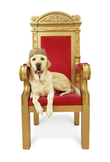 Stock Photo: 1260-186 Golden Retriever lying on a throne