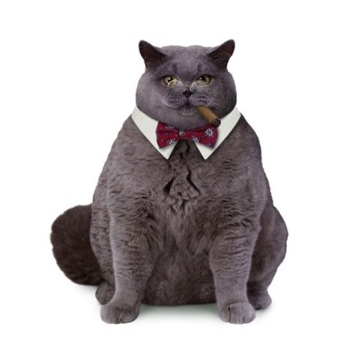 Stock Photo: 1260-190 Close-up of a fat cat smoking a cigar wearing a bow tie and eye glasses