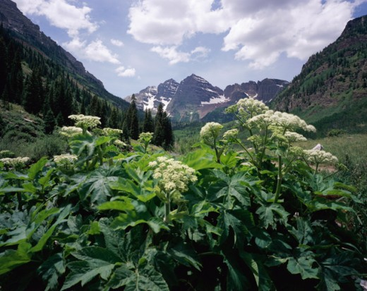 Stock Photo: 1265-301 Cow Parsnips