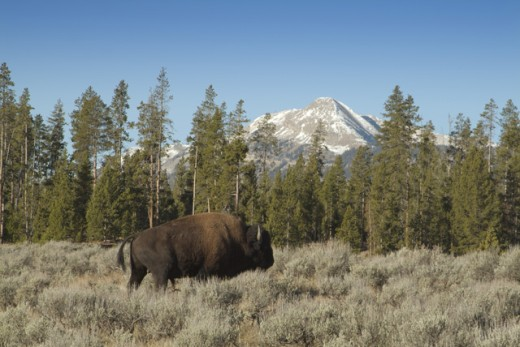 Side profile of a bison walking in a field, Yellowstone National Park, Wyoming, USA : Stock Photo