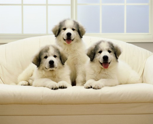 Stock Photo: 1269-225 Portrait of three puppies sitting on a couch