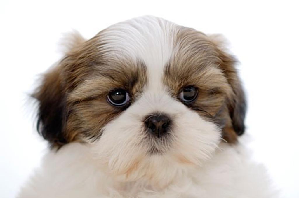 Close-up of a Shih Tzu puppy : Stock Photo