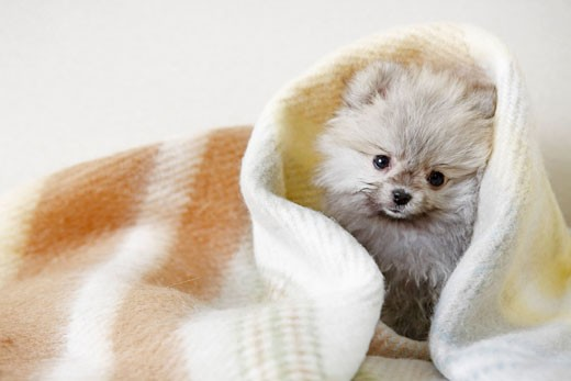 Close-up of a Pomeranian puppy under a blanket : Stock Photo