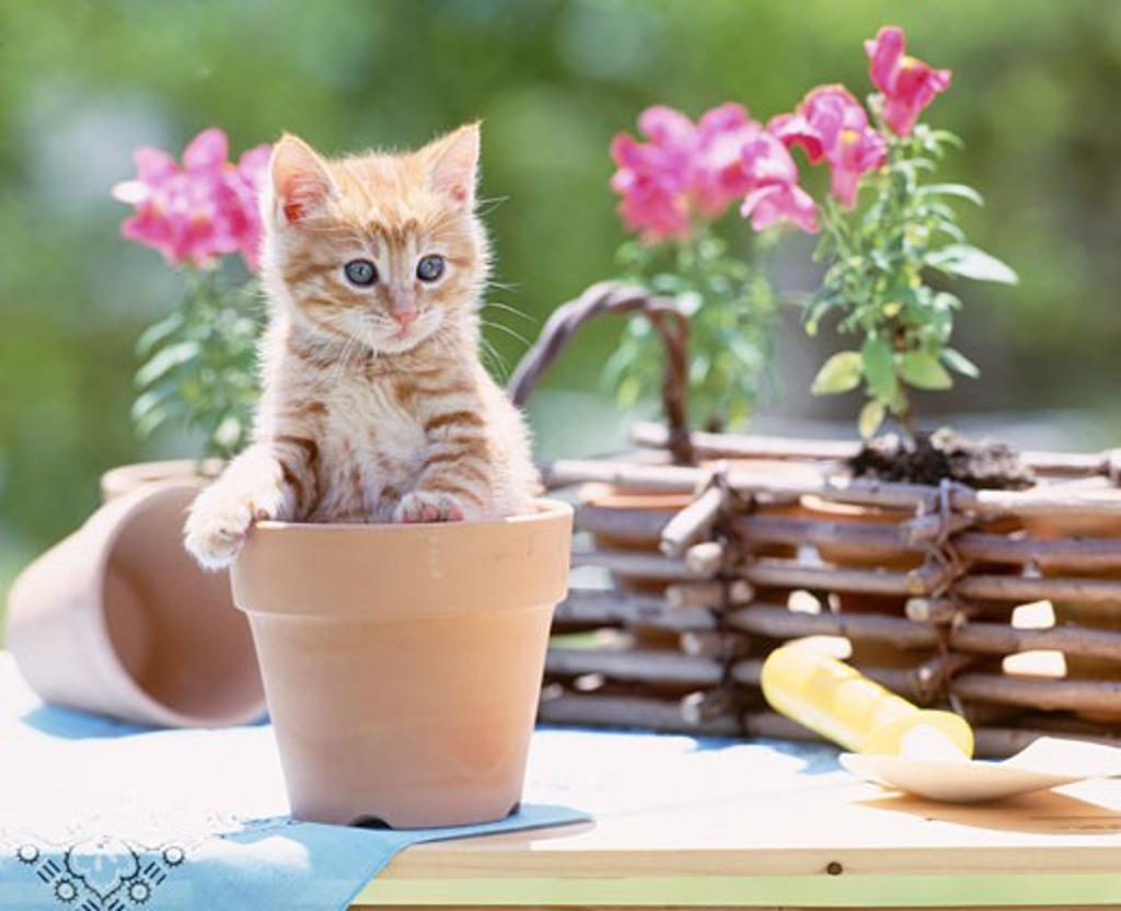Stock Photo: 1269-2556 Kitten in a flower pot