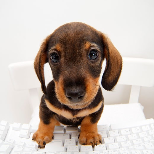 Close-up of a dachshund puppy sitting at a computer keyboard : Stock Photo