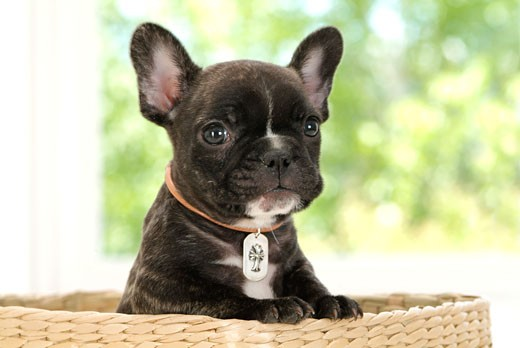 Stock Photo: 1269-2579F Close-up of a French bulldog puppy