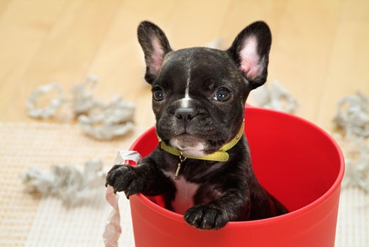 Close-up of a French bulldog puppy in a bucket : Stock Photo