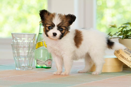 Papillon puppy standing near a bottle and glasses : Stock Photo