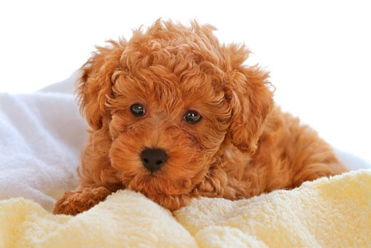 Stock Photo: 1269-2589A Close-up of a Toy poodle puppy