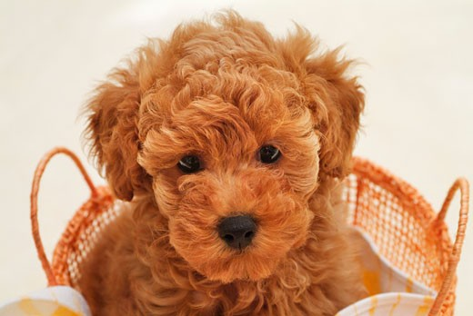Stock Photo: 1269-2590A Close-up of a Toy poodle puppy in a basket
