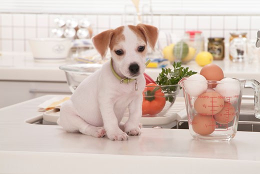Jack Russell Terrier puppy sitting at a kitchen counter : Stock Photo