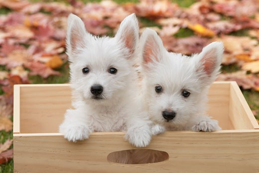 Stock Photo: 1269-2594A Close-up of two West Highland White Terrier puppies in a wooden box