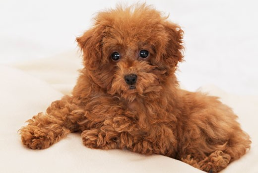 Close-up of a Toy poodle puppy sitting on steps : Stock Photo