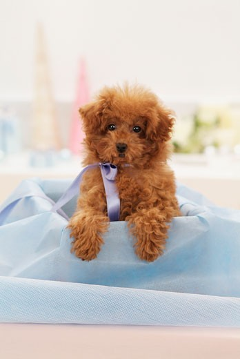 Stock Photo: 1269-2598A Toy Poodle puppy in a box