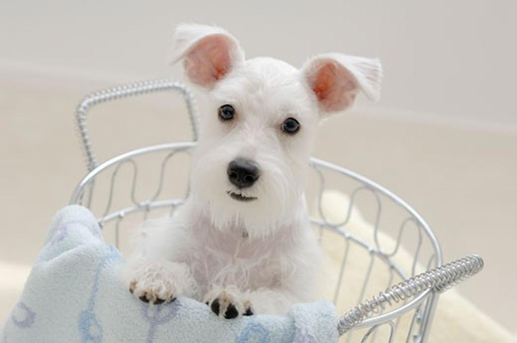 Stock Photo: 1269-2603C Miniature Schnauzer puppy in a basket