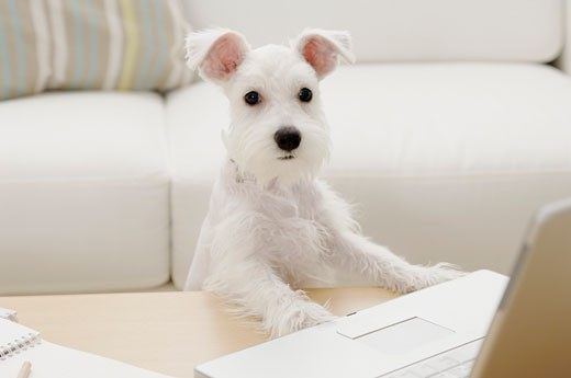 Miniature Schnauzer puppy in front of a laptop : Stock Photo