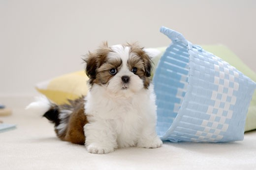 Stock Photo: 1269-2605C Shih Tzu puppy sitting near a basket