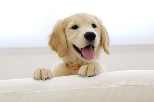 Stock Photo: 1269-2606A Close-up of a Golden Retriever puppy sticking its tongue out