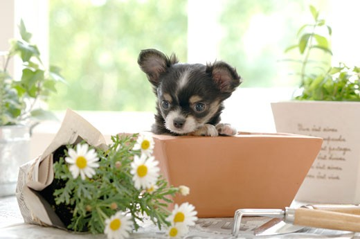 Chihuahua puppy in a flower pot : Stock Photo
