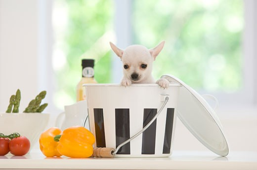 Stock Photo: 1269-2613A Chihuahua puppy in a bucket