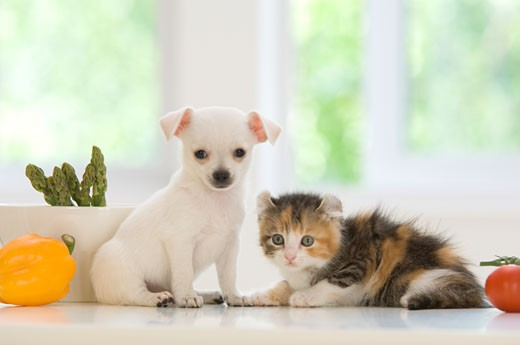 Chihuahua puppy with a kitten on a table : Stock Photo