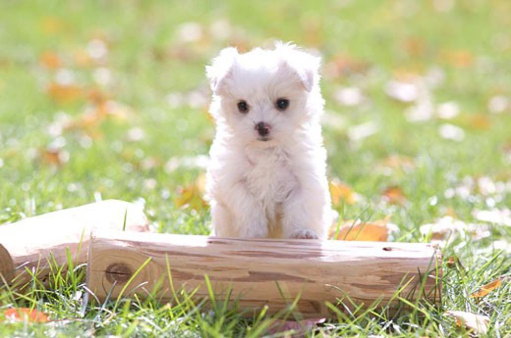 Stock Photo: 1269-2626B Maltese puppy in a field