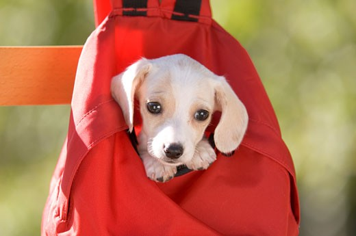 Stock Photo: 1269-2634B Close-up of a dachshund puppy in a red backpack