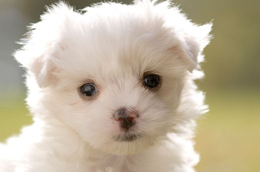 Close-up of a Maltese puppy : Stock Photo
