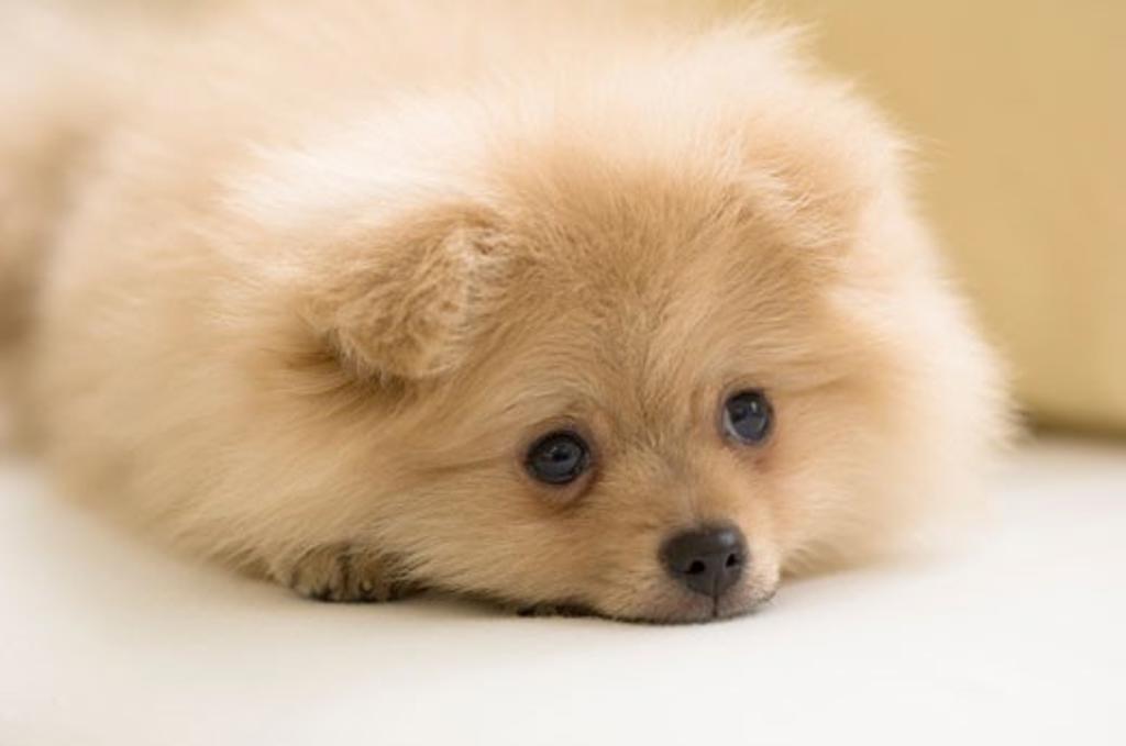 Close-up of a Pomeranian puppy : Stock Photo