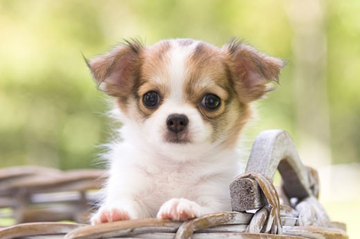Chihuahua puppy in a wicker basket : Stock Photo
