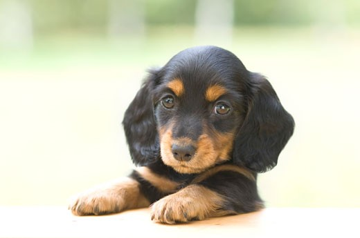 Stock Photo: 1269-2646B Close-up of a dachshund puppy