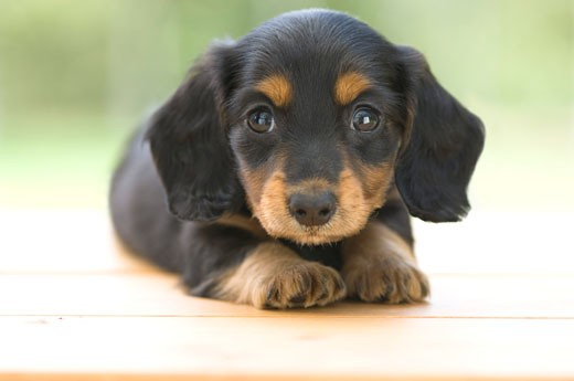 Stock Photo: 1269-2646C Close-up of a dachshund puppy