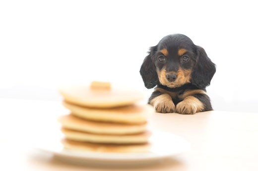 Stock Photo: 1269-2647B Dachshund puppy looking at a stack of pancakes