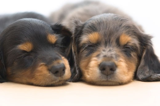 Close-up of two dachshund puppies sleeping together : Stock Photo