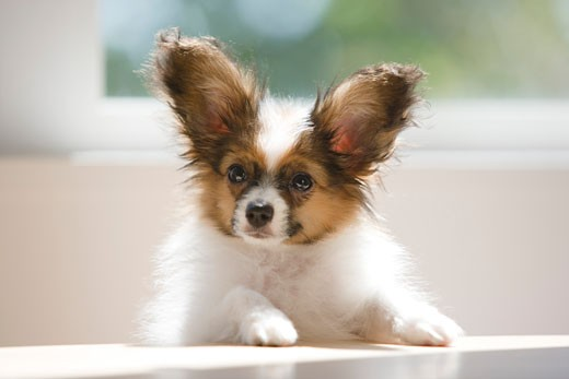 Stock Photo: 1269-2653A Close-up of a Papillon puppy