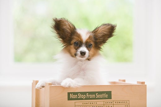 Stock Photo: 1269-2654A Close-up of a Papillon puppy in a wooden box