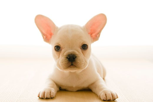 Close-up of a French bulldog puppy : Stock Photo