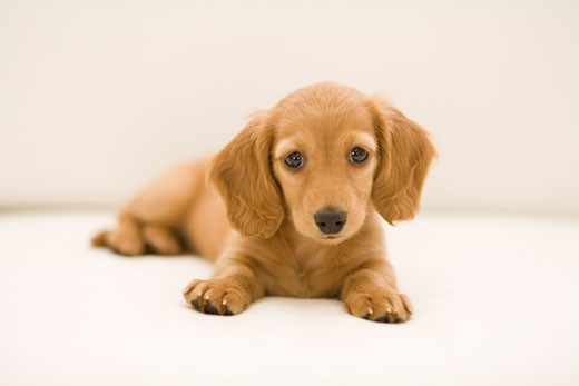Close-up of a dachshund : Stock Photo