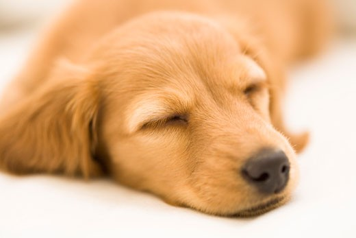 Stock Photo: 1269-2663B Close-up of a dachshund sleeping