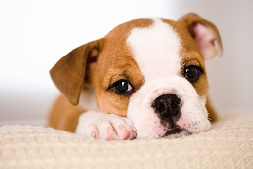 Stock Photo: 1269-2664F Portrait of a bulldog puppy resting