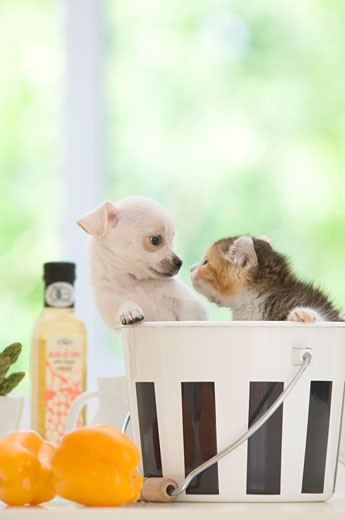 Stock Photo: 1269-2676 Chihuahua puppy with a kitten in a bucket