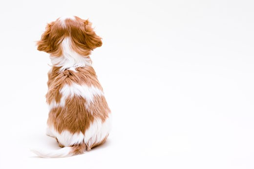 Rear view of a Cavalier King Charles Spaniel (Blenheim coat) puppy : Stock Photo